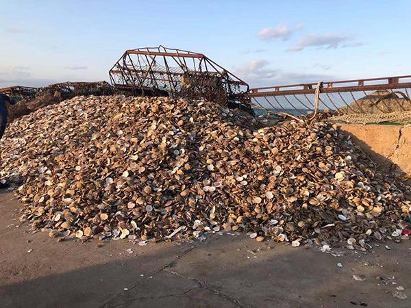 獐子岛员工称采捕方法对海底生态破坏严重:扇贝可能是呛死的